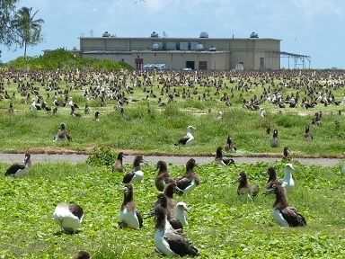Paul is somewhere in this photo surrounded by Albatrosses on Midway Island, June 2010