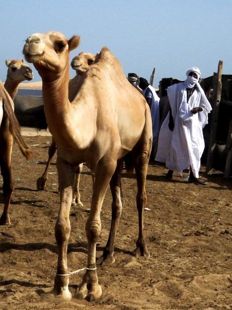 Camel_pearce