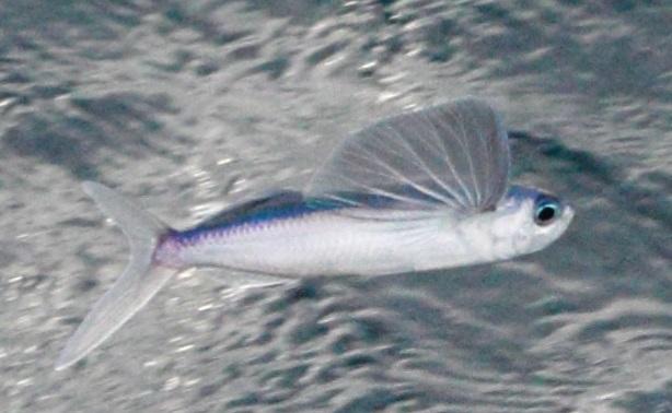 maxfield_flyfish4
