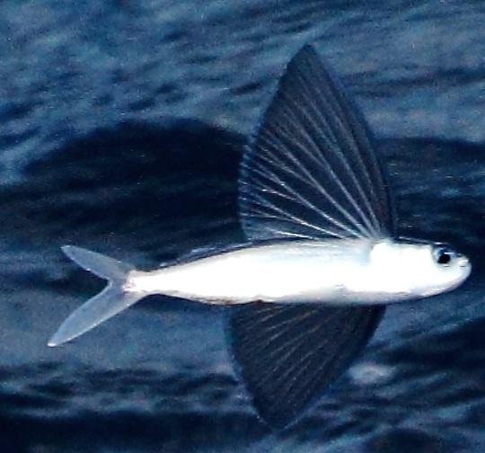 maxfield_flyfish6