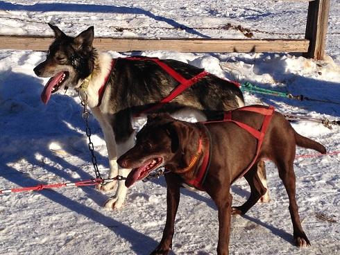 Sled Dogs at Chena_krull