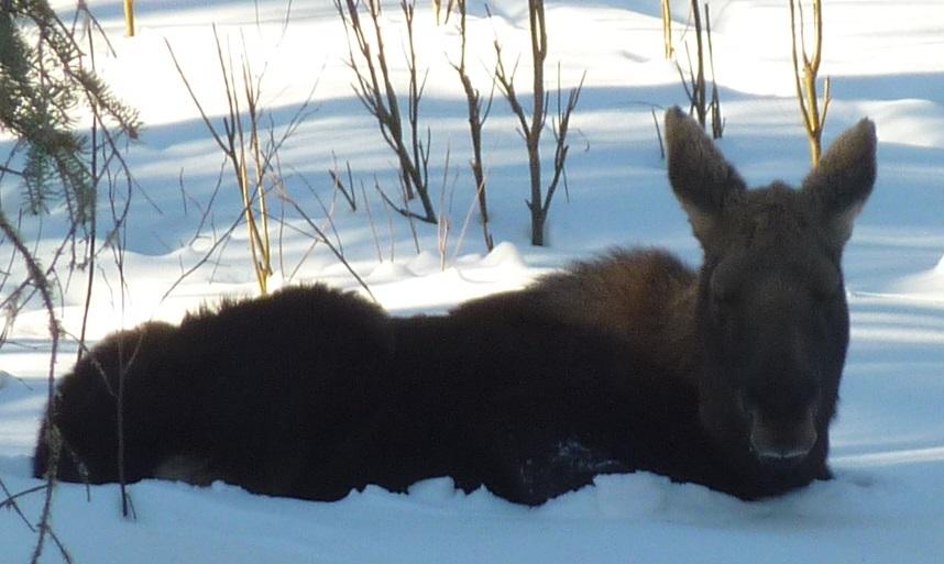 moose_calf1a