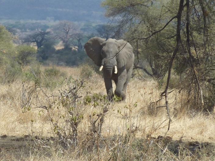 chargingelephant