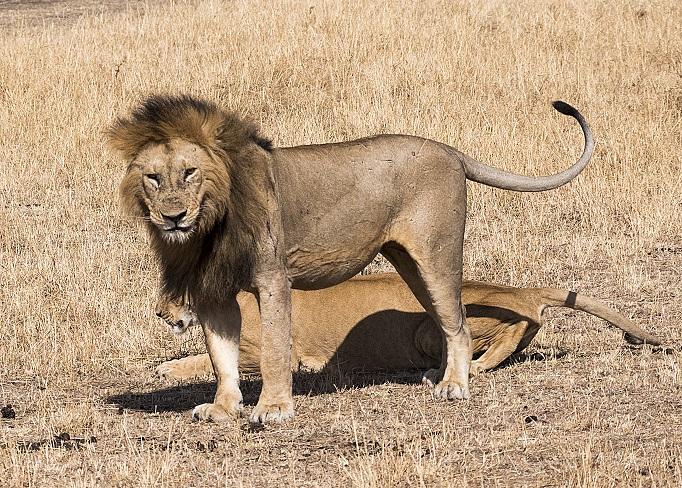 jeffp_lion-smiling-01a