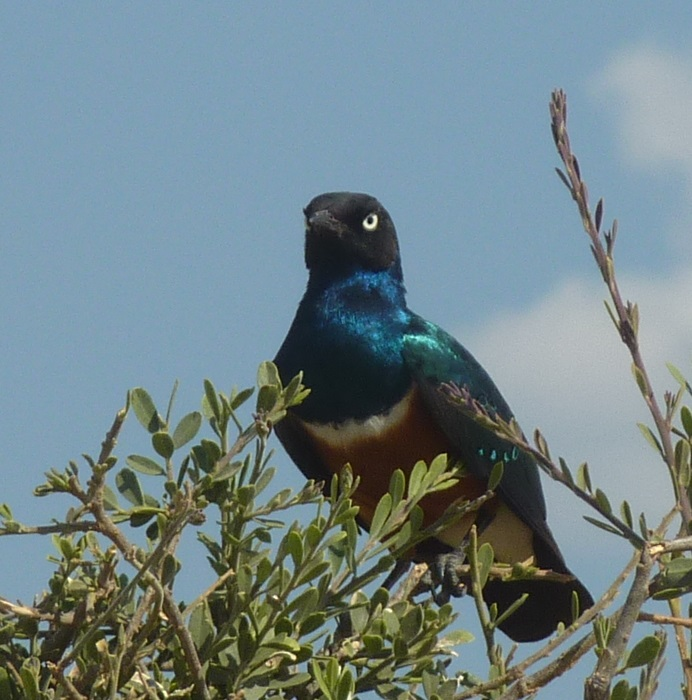 starling1